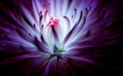 Purple flower 4K Wallpapers